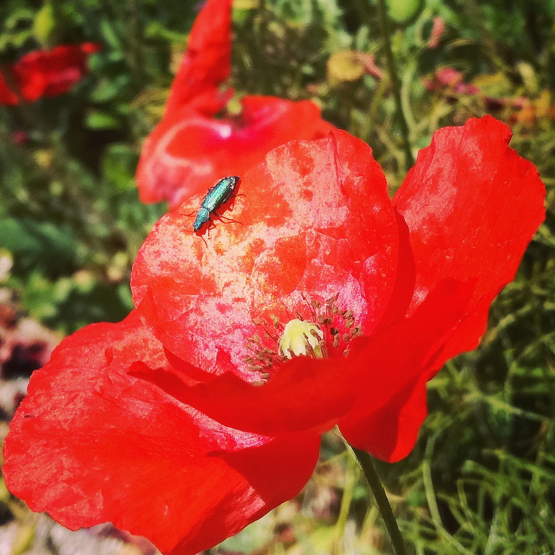 mtb poppies sardegna sardinia flowers trail guide